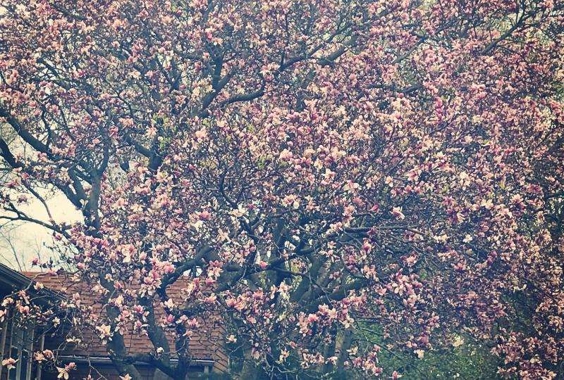 Photo of a magnolia tree with pink flowers