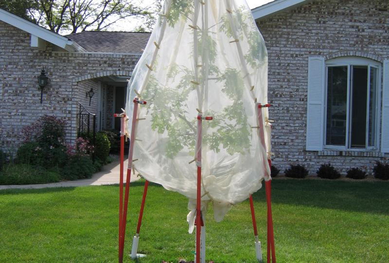 Oak sapling enclosed in mesh fabric to deter cicadas